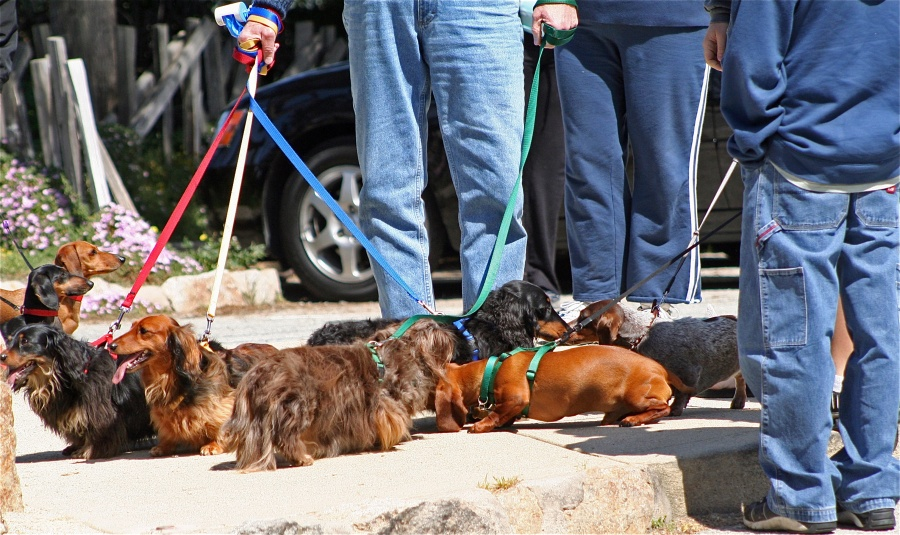 dachshund club