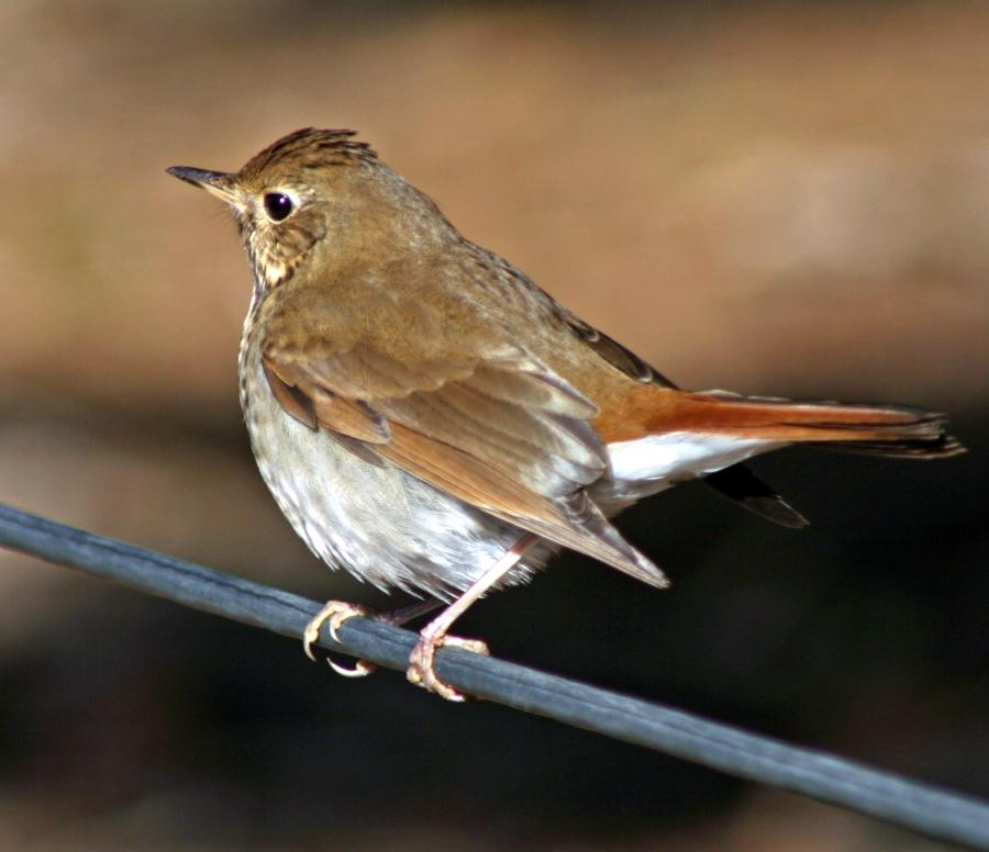 Slate colored Fox Sparrow